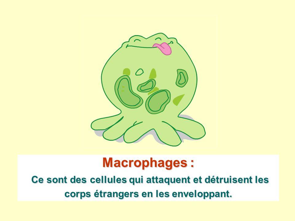 Macrophages : Ce sont des cellules qui attaquent et détruisent les corps étrangers en les enveloppant.