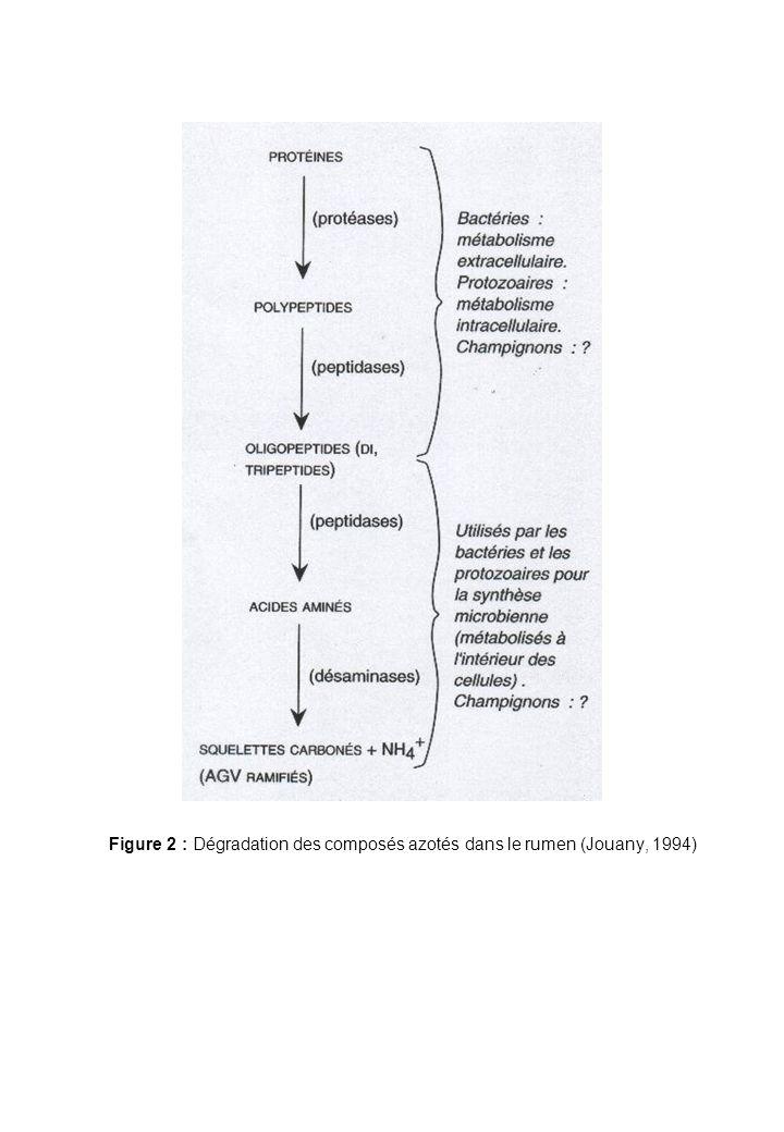 Figure 2 : Dégradation des composés azotés dans le rumen (Jouany, 1994)