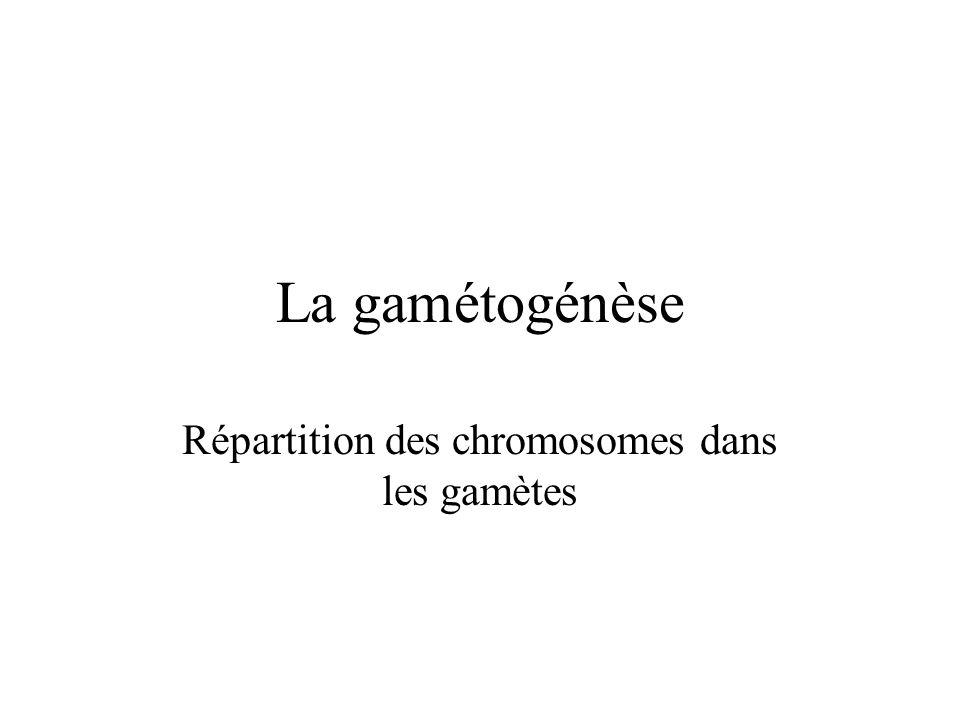 Répartition des chromosomes dans les gamètes