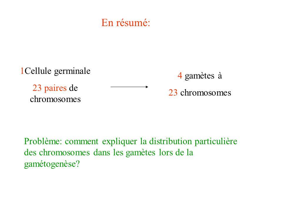 En résumé: 1Cellule germinale 23 paires de chromosomes 4 gamètes à