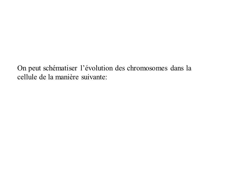 On peut schématiser l'évolution des chromosomes dans la cellule de la manière suivante: