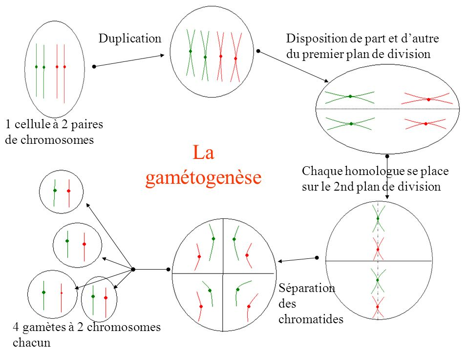 La gamétogenèse Duplication
