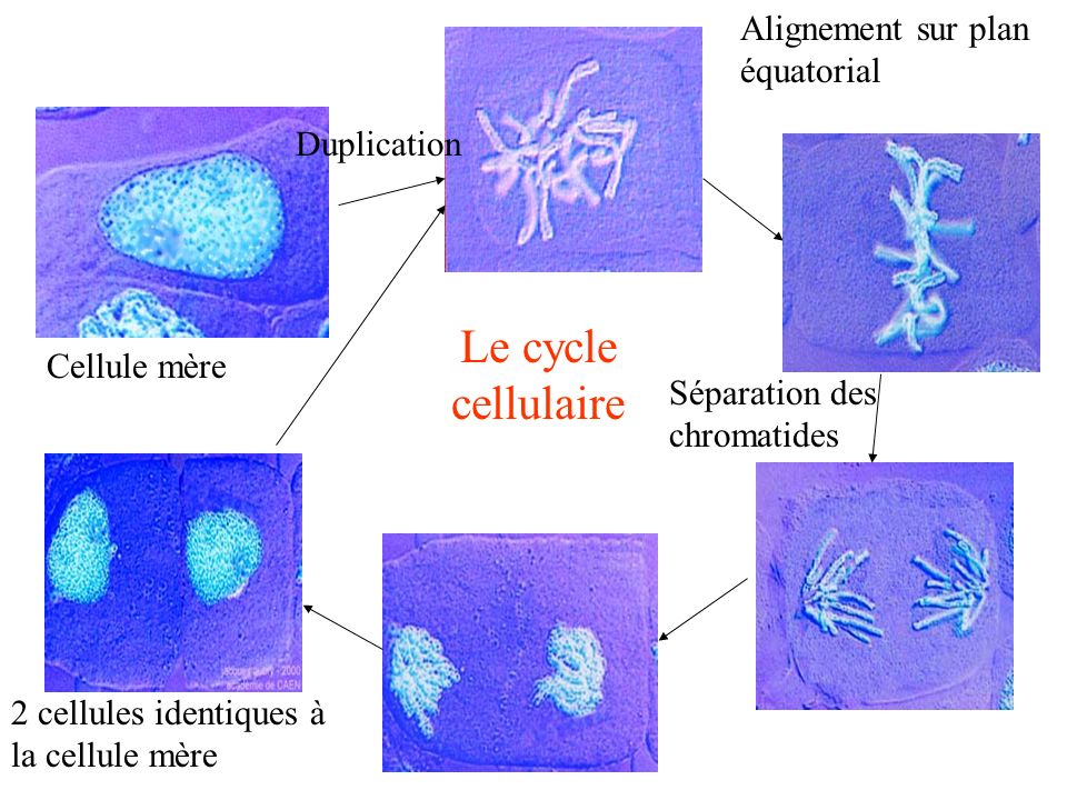 Le cycle cellulaire Alignement sur plan équatorial Duplication