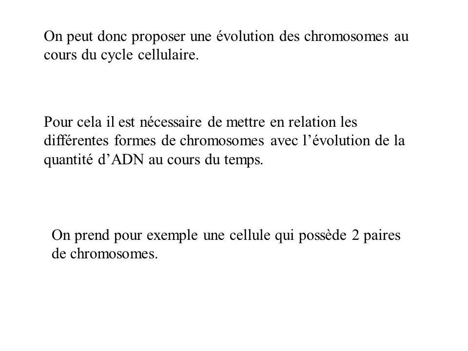 On peut donc proposer une évolution des chromosomes au cours du cycle cellulaire.