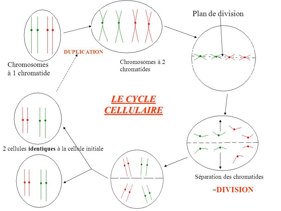 LE CYCLE CELLULAIRE Plan de division Chromosomes à 1 chromatide