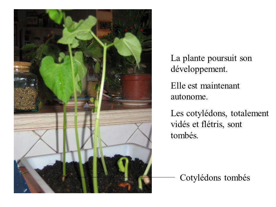 La plante poursuit son développement.