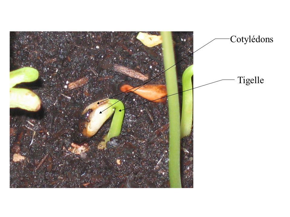 Cotylédons Tigelle