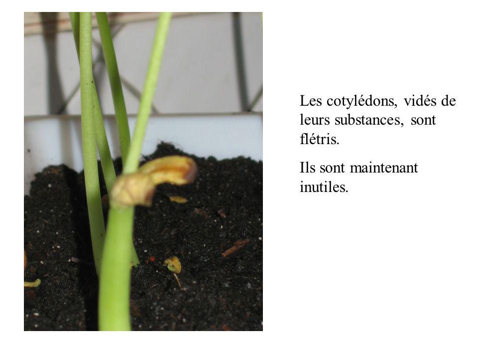 Les cotylédons, vidés de leurs substances, sont flétris.