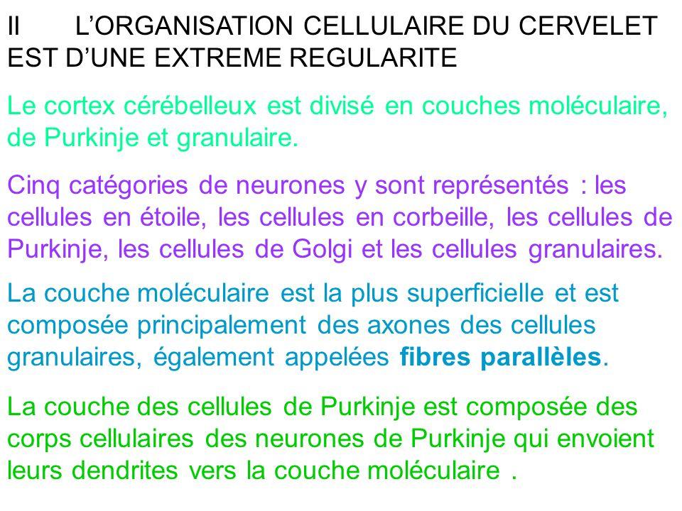 II L'ORGANISATION CELLULAIRE DU CERVELET EST D'UNE EXTREME REGULARITE