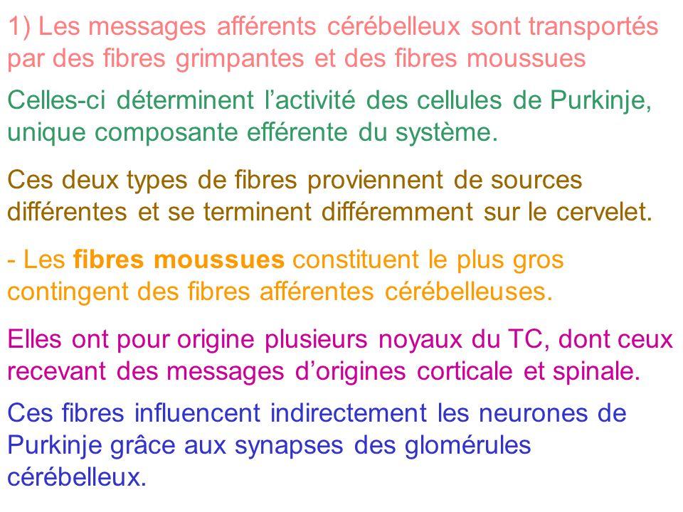 1) Les messages afférents cérébelleux sont transportés par des fibres grimpantes et des fibres moussues