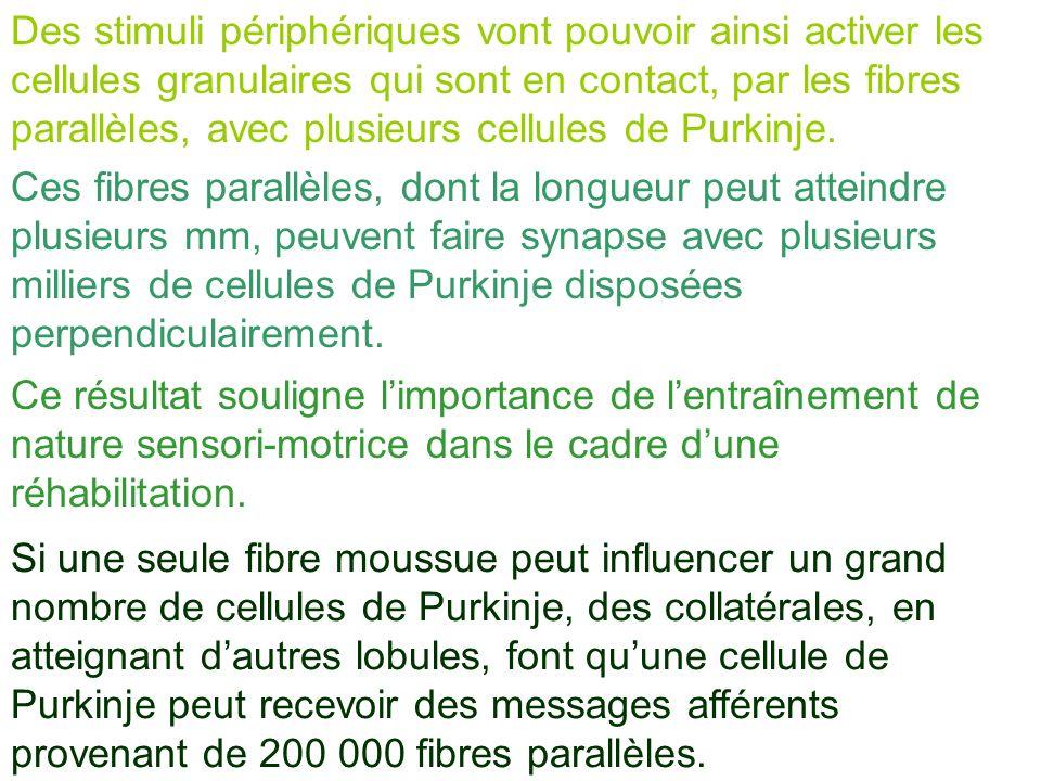 Des stimuli périphériques vont pouvoir ainsi activer les cellules granulaires qui sont en contact, par les fibres parallèles, avec plusieurs cellules de Purkinje.