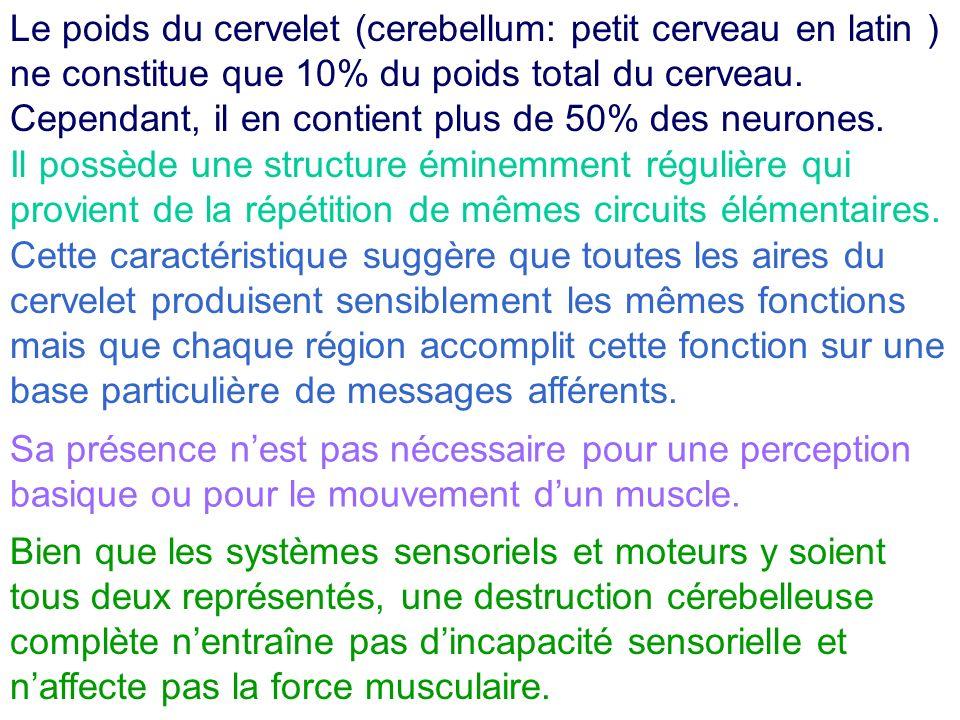 Le poids du cervelet (cerebellum: petit cerveau en latin ) ne constitue que 10% du poids total du cerveau. Cependant, il en contient plus de 50% des neurones.