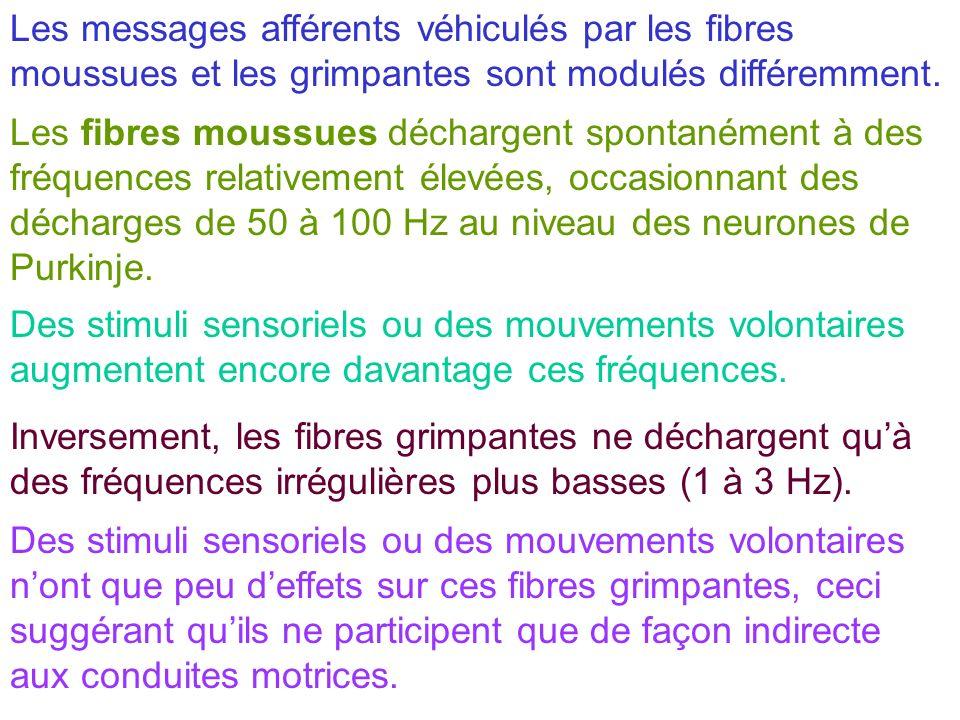 Les messages afférents véhiculés par les fibres moussues et les grimpantes sont modulés différemment.
