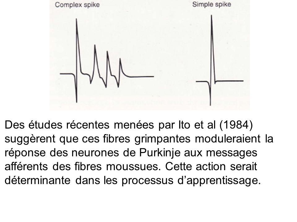 Des études récentes menées par Ito et al (1984) suggèrent que ces fibres grimpantes moduleraient la réponse des neurones de Purkinje aux messages afférents des fibres moussues.