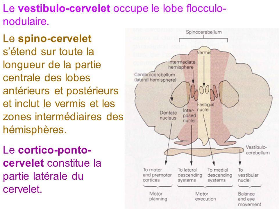 Le vestibulo-cervelet occupe le lobe flocculo-nodulaire.