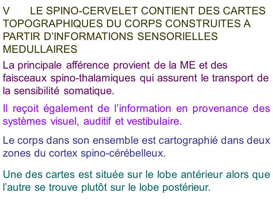 V LE SPINO-CERVELET CONTIENT DES CARTES TOPOGRAPHIQUES DU CORPS CONSTRUITES A PARTIR D'INFORMATIONS SENSORIELLES MEDULLAIRES