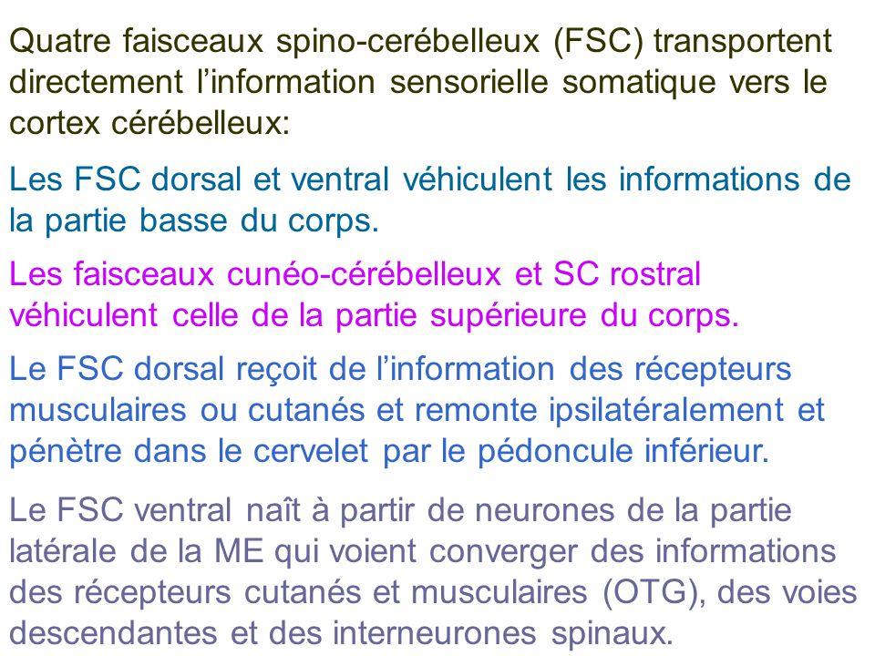 Quatre faisceaux spino-cerébelleux (FSC) transportent directement l'information sensorielle somatique vers le cortex cérébelleux: