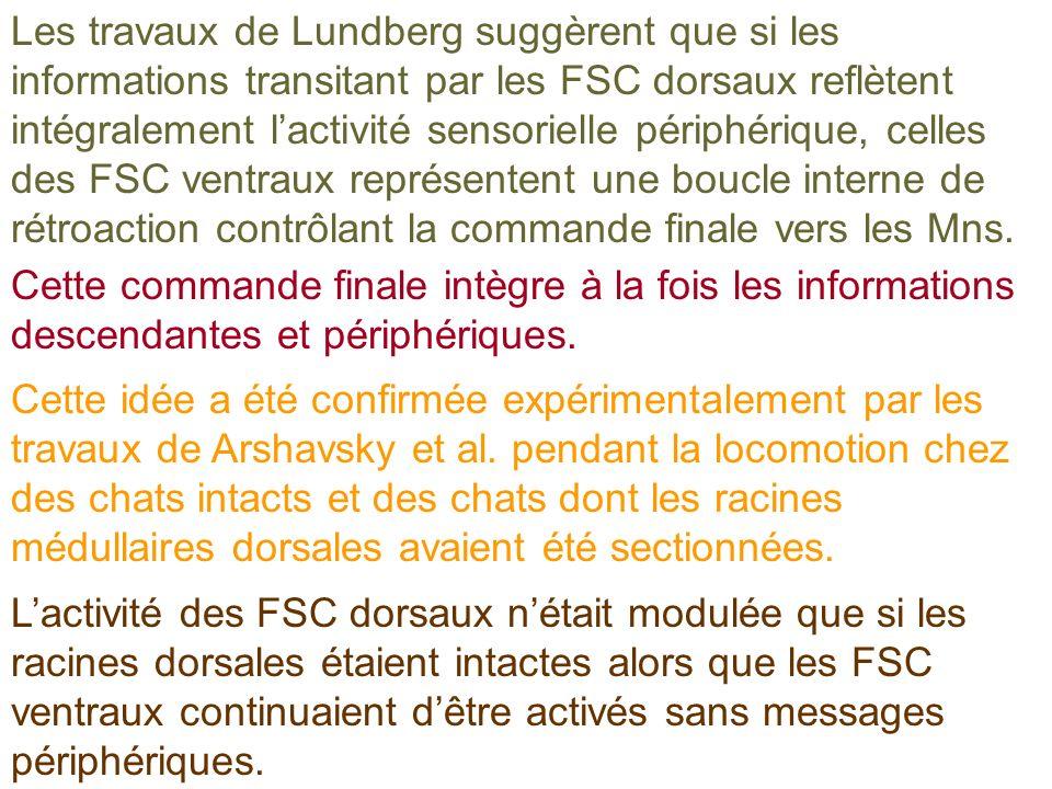 Les travaux de Lundberg suggèrent que si les informations transitant par les FSC dorsaux reflètent intégralement l'activité sensorielle périphérique, celles des FSC ventraux représentent une boucle interne de rétroaction contrôlant la commande finale vers les Mns.