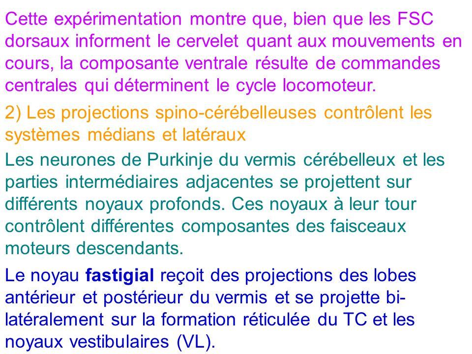 Cette expérimentation montre que, bien que les FSC dorsaux informent le cervelet quant aux mouvements en cours, la composante ventrale résulte de commandes centrales qui déterminent le cycle locomoteur.