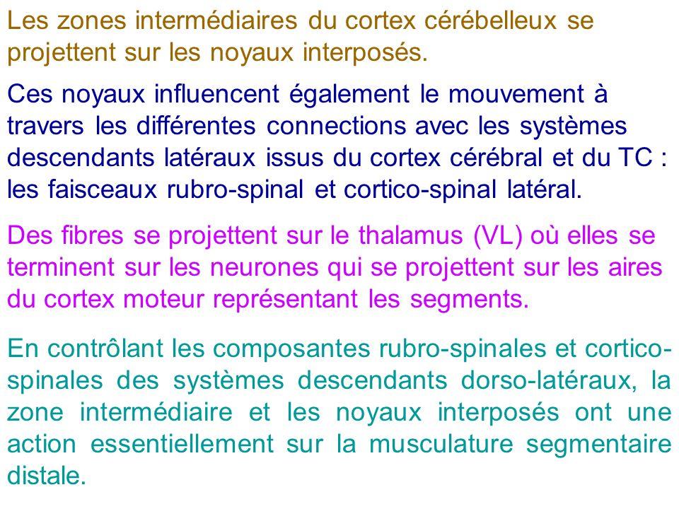 Les zones intermédiaires du cortex cérébelleux se projettent sur les noyaux interposés.