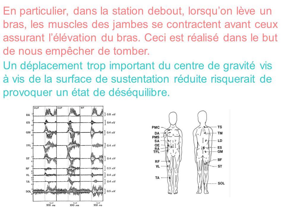 En particulier, dans la station debout, lorsqu'on lève un bras, les muscles des jambes se contractent avant ceux assurant l'élévation du bras. Ceci est réalisé dans le but de nous empêcher de tomber.