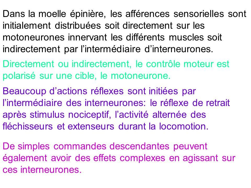 Dans la moelle épinière, les afférences sensorielles sont initialement distribuées soit directement sur les motoneurones innervant les différents muscles soit indirectement par l'intermédiaire d'interneurones.