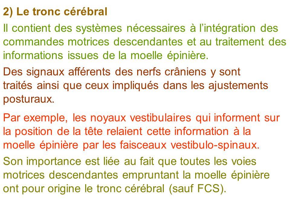 2) Le tronc cérébral