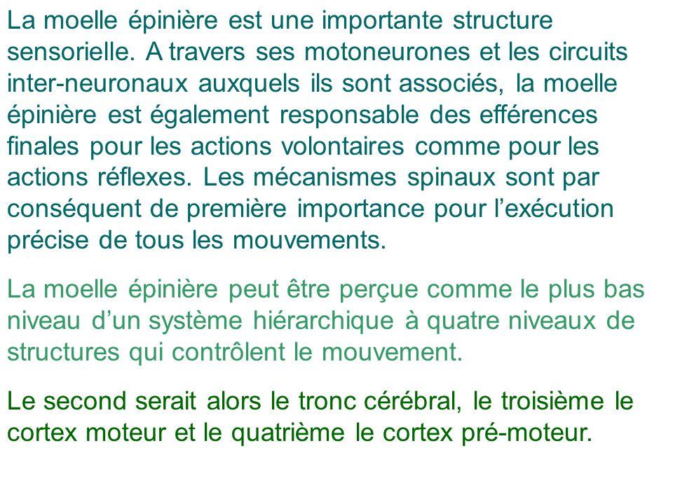 La moelle épinière est une importante structure sensorielle
