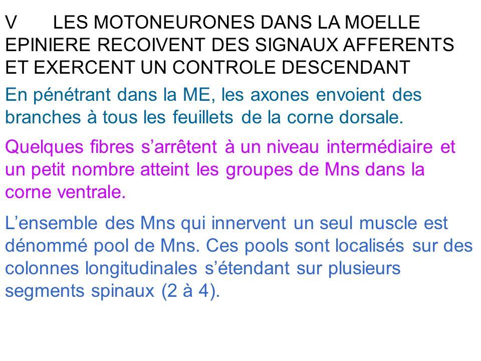 V LES MOTONEURONES DANS LA MOELLE EPINIERE RECOIVENT DES SIGNAUX AFFERENTS ET EXERCENT UN CONTROLE DESCENDANT
