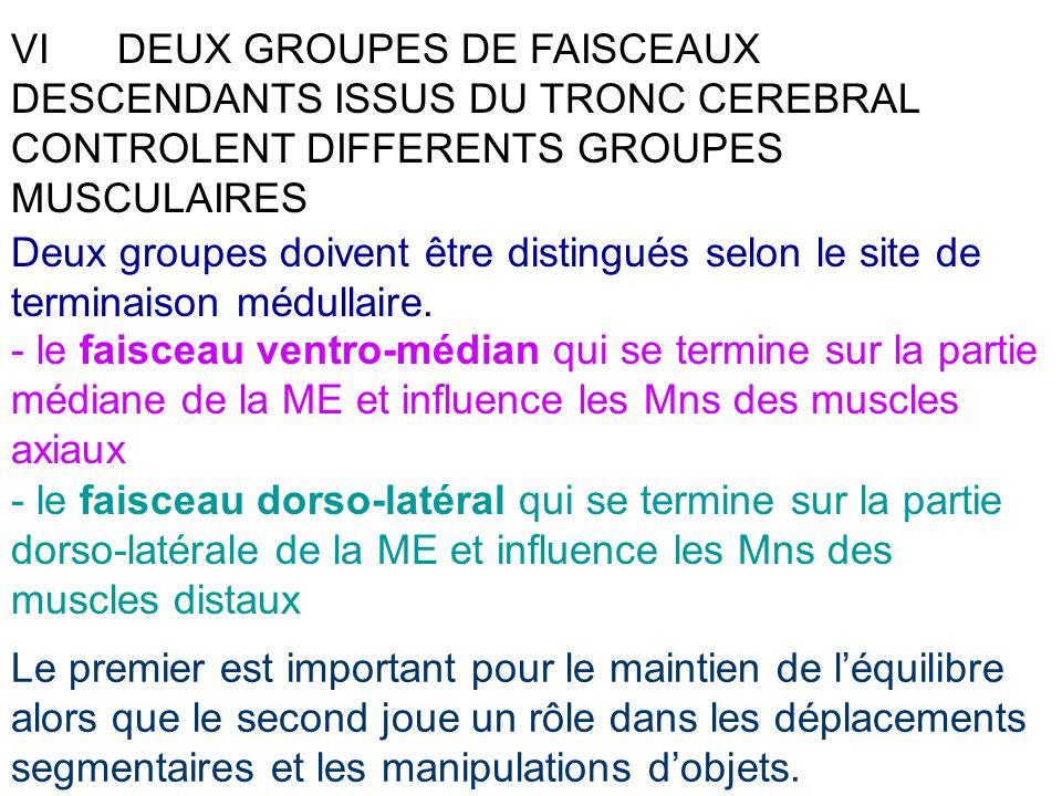 VI DEUX GROUPES DE FAISCEAUX DESCENDANTS ISSUS DU TRONC CEREBRAL CONTROLENT DIFFERENTS GROUPES MUSCULAIRES