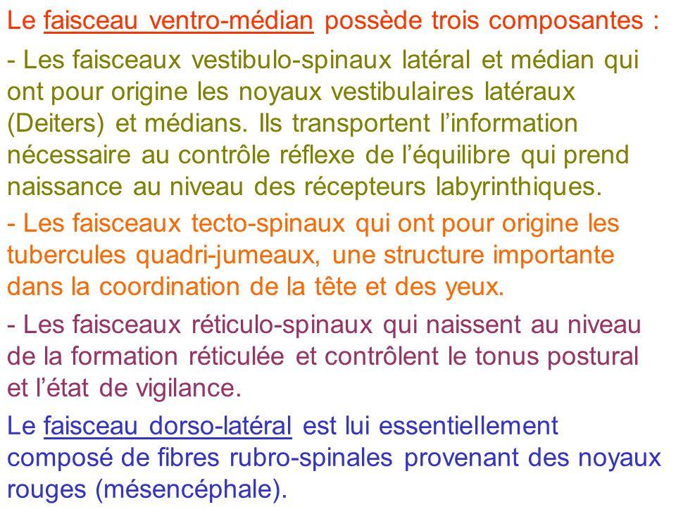 Le faisceau ventro-médian possède trois composantes :