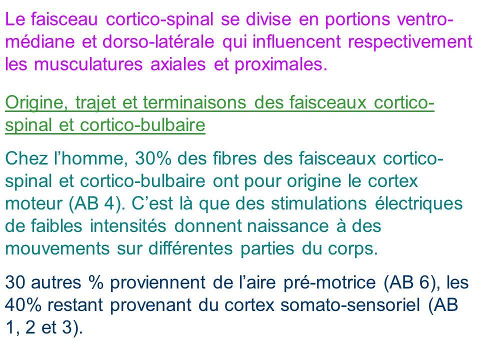 Le faisceau cortico-spinal se divise en portions ventro-médiane et dorso-latérale qui influencent respectivement les musculatures axiales et proximales.