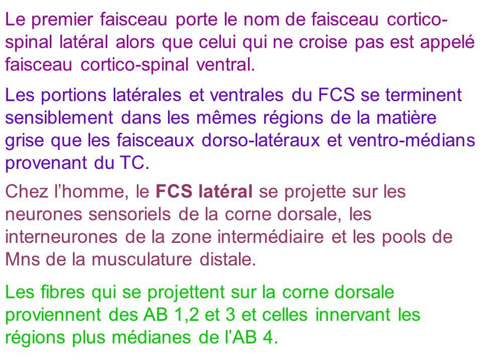 Le premier faisceau porte le nom de faisceau cortico-spinal latéral alors que celui qui ne croise pas est appelé faisceau cortico-spinal ventral.