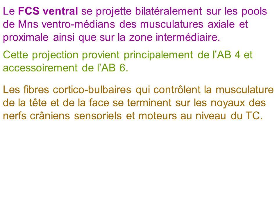 Le FCS ventral se projette bilatéralement sur les pools de Mns ventro-médians des musculatures axiale et proximale ainsi que sur la zone intermédiaire.
