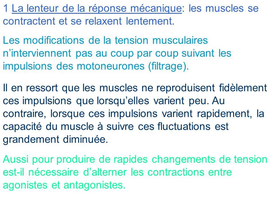 1 La lenteur de la réponse mécanique: les muscles se contractent et se relaxent lentement.