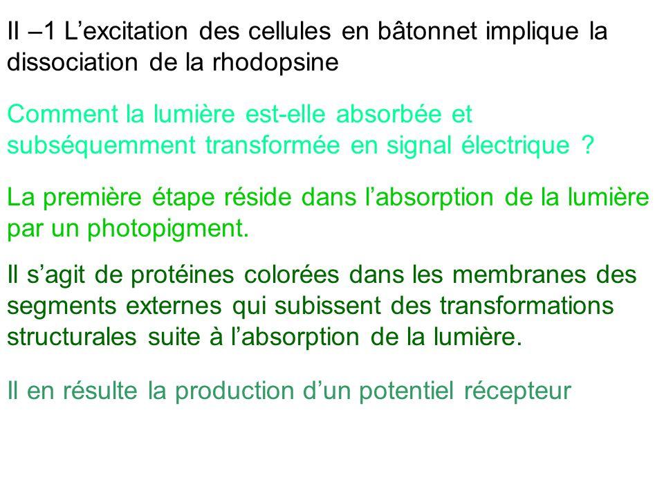 II –1 L'excitation des cellules en bâtonnet implique la dissociation de la rhodopsine