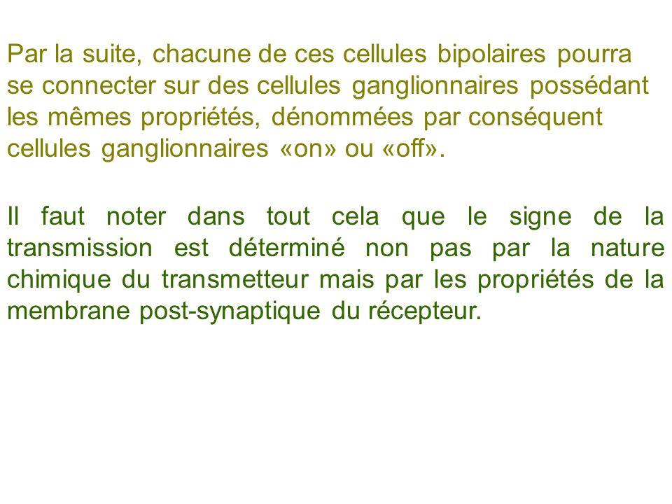 Par la suite, chacune de ces cellules bipolaires pourra se connecter sur des cellules ganglionnaires possédant les mêmes propriétés, dénommées par conséquent cellules ganglionnaires «on» ou «off».