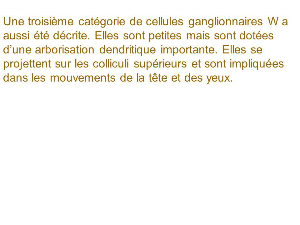 Une troisième catégorie de cellules ganglionnaires W a aussi été décrite.
