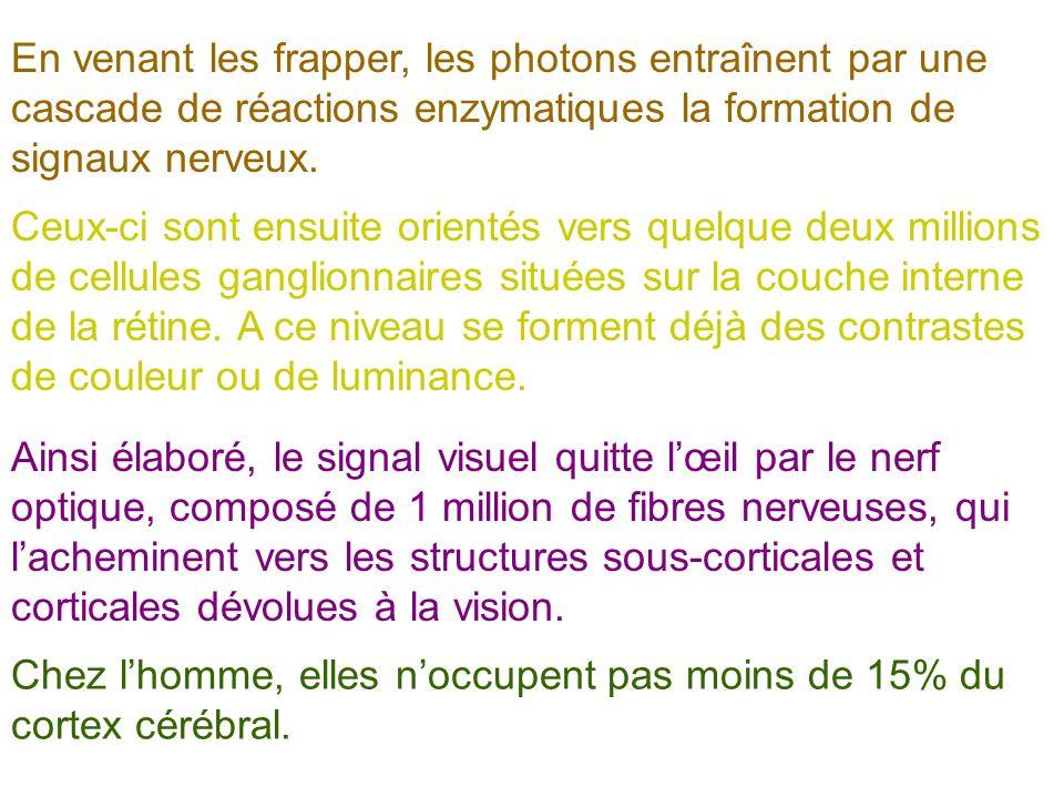 En venant les frapper, les photons entraînent par une cascade de réactions enzymatiques la formation de signaux nerveux.