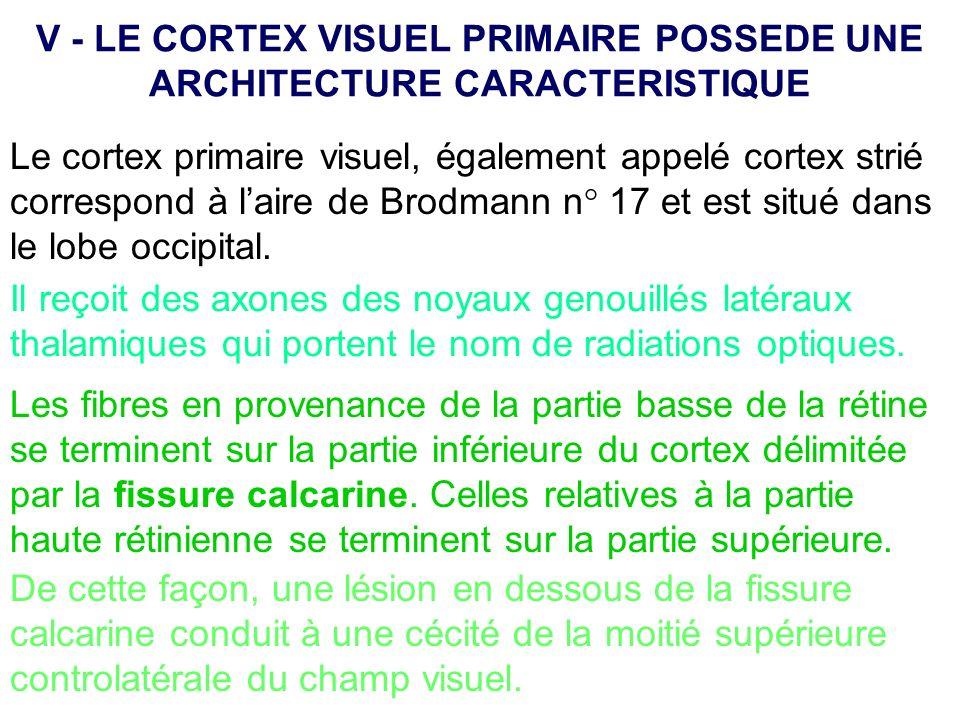 V - LE CORTEX VISUEL PRIMAIRE POSSEDE UNE ARCHITECTURE CARACTERISTIQUE