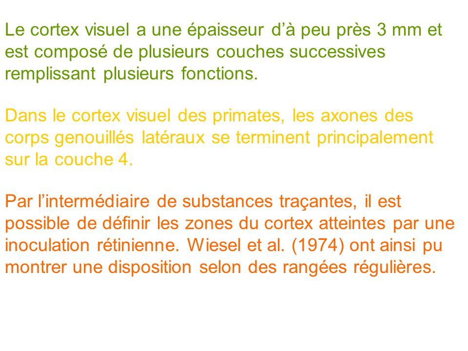 Le cortex visuel a une épaisseur d'à peu près 3 mm et est composé de plusieurs couches successives remplissant plusieurs fonctions.