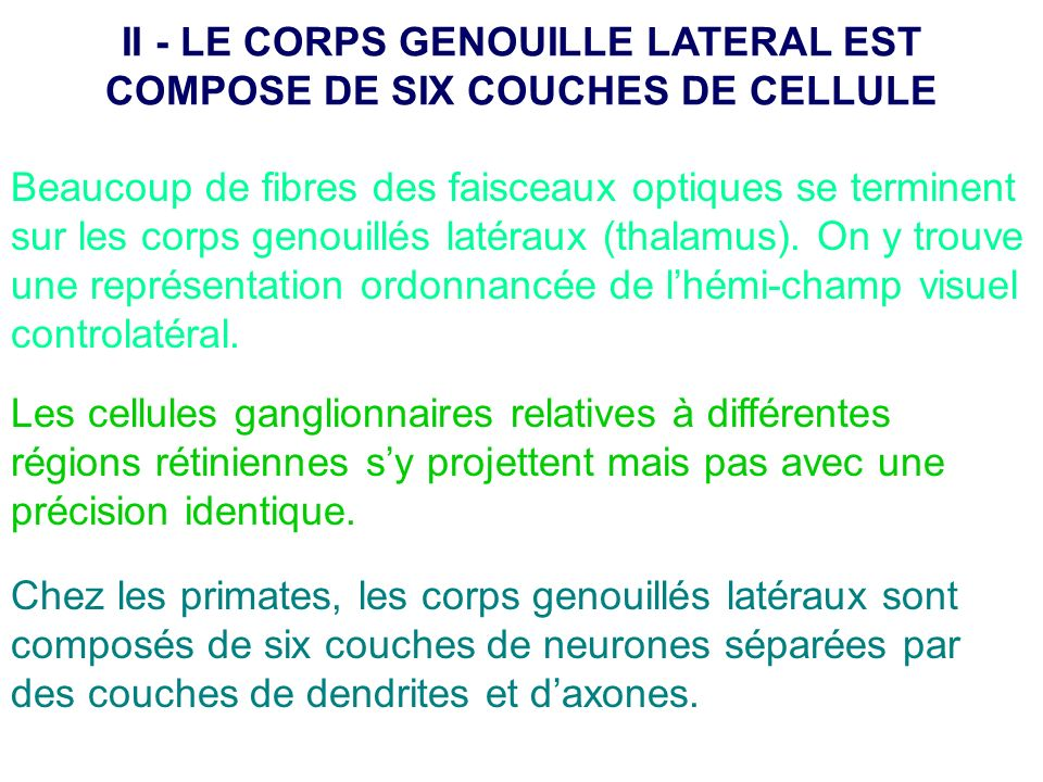 II - LE CORPS GENOUILLE LATERAL EST COMPOSE DE SIX COUCHES DE CELLULE