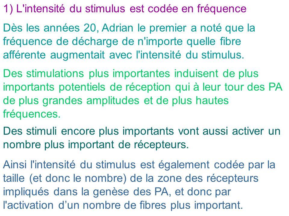 1) L intensité du stimulus est codée en fréquence