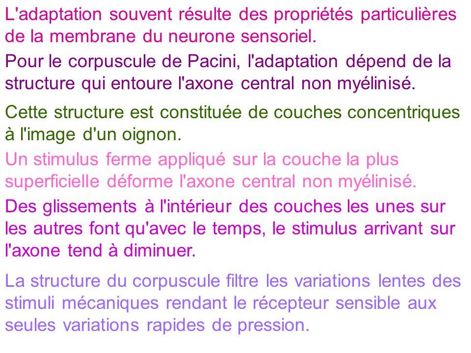 L adaptation souvent résulte des propriétés particulières de la membrane du neurone sensoriel.