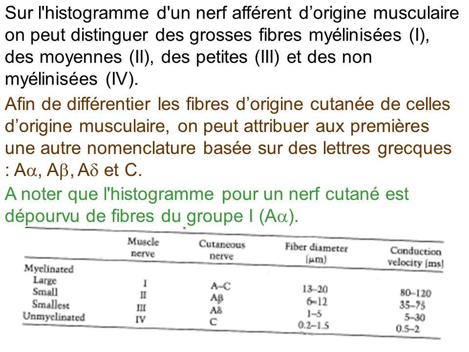 Sur l histogramme d un nerf afférent d'origine musculaire on peut distinguer des grosses fibres myélinisées (I), des moyennes (II), des petites (III) et des non myélinisées (IV).