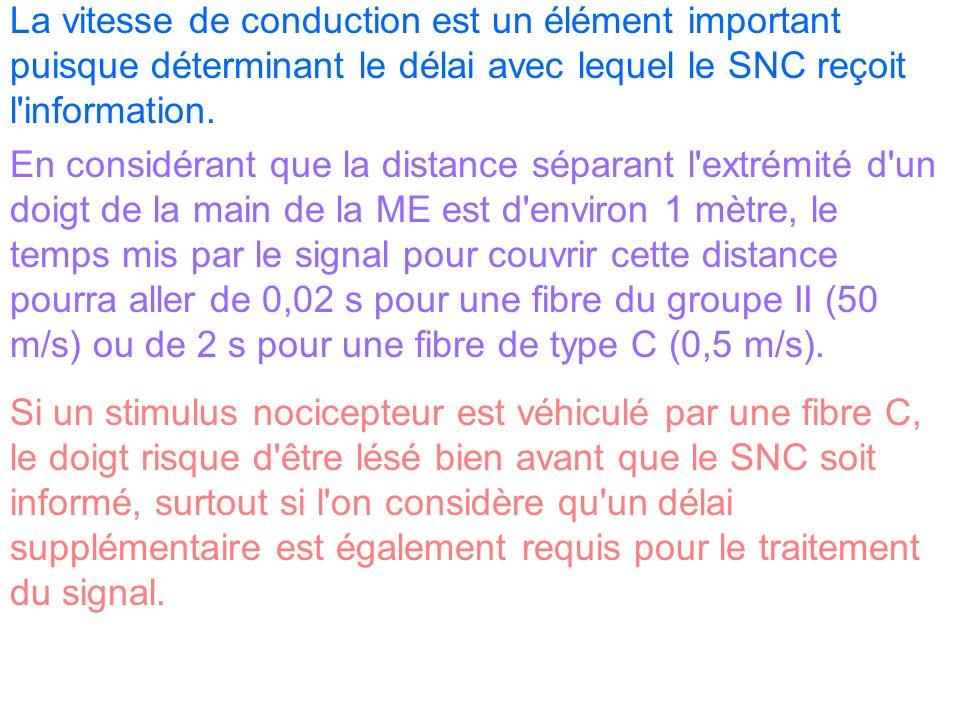 La vitesse de conduction est un élément important puisque déterminant le délai avec lequel le SNC reçoit l information.
