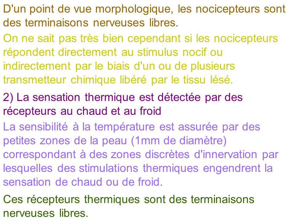 D un point de vue morphologique, les nocicepteurs sont des terminaisons nerveuses libres.
