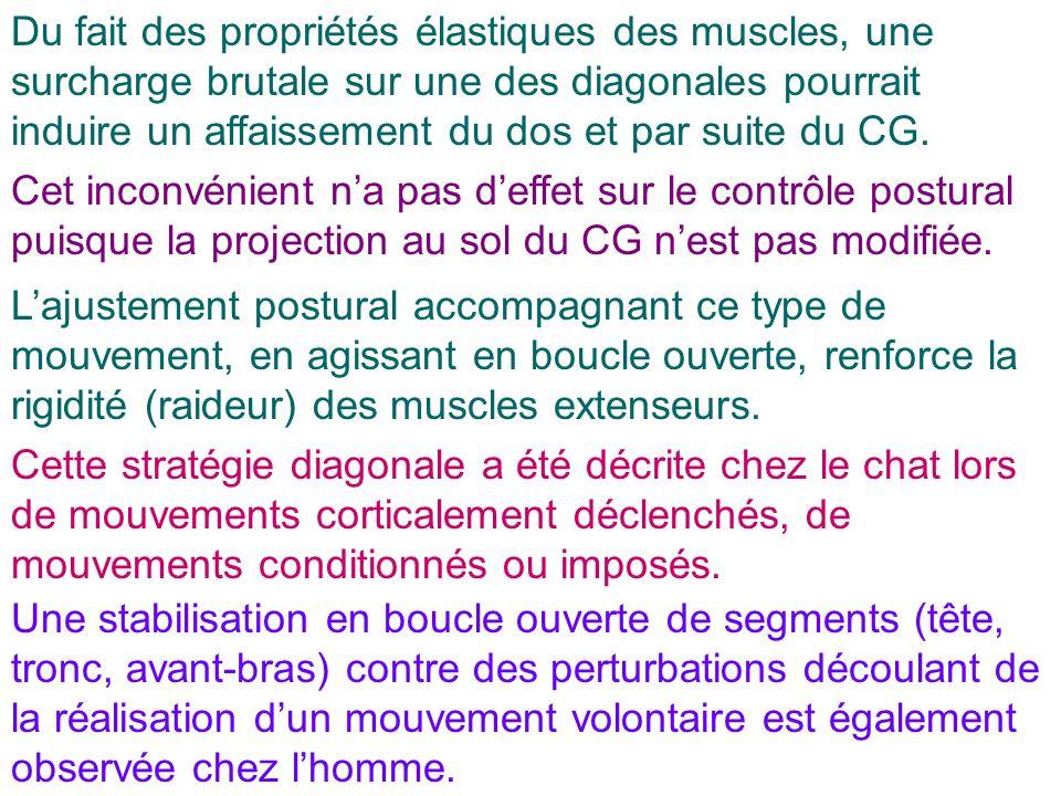 Du fait des propriétés élastiques des muscles, une surcharge brutale sur une des diagonales pourrait induire un affaissement du dos et par suite du CG.