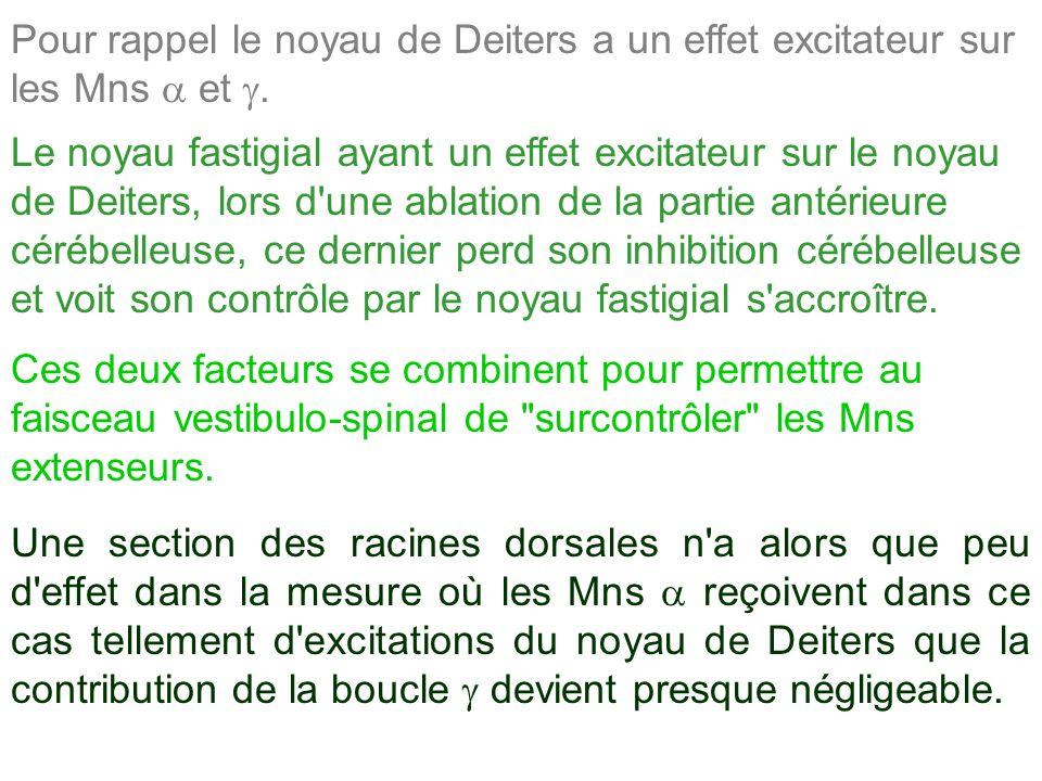 Pour rappel le noyau de Deiters a un effet excitateur sur les Mns a et g.