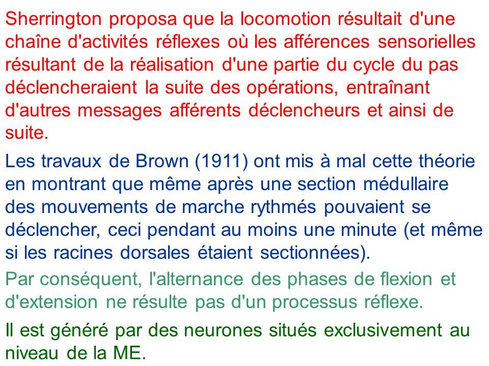 Sherrington proposa que la locomotion résultait d une chaîne d activités réflexes où les afférences sensorielles résultant de la réalisation d une partie du cycle du pas déclencheraient la suite des opérations, entraînant d autres messages afférents déclencheurs et ainsi de suite.
